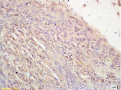 NR2C2/TAK1 Antibody, ALEXA FLUOR® 350 Conjugated