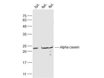 Alpha casein Antibody, ALEXA FLUOR® 350 Conjugated