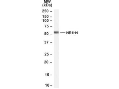 Goat Polyclonal FXR / NR1H4 Antibody