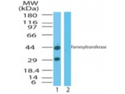FNTA Antibody