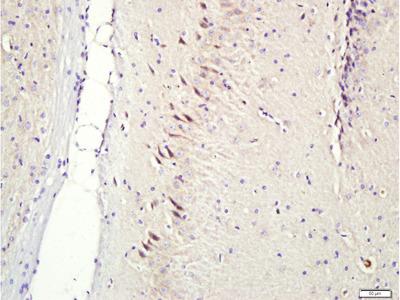 CNIH3 Antibody