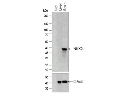 TTF1 Antibody, ALEXA FLUOR® 555 Conjugated