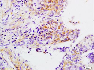 APOH Antibody, ALEXA FLUOR® 350 Conjugated