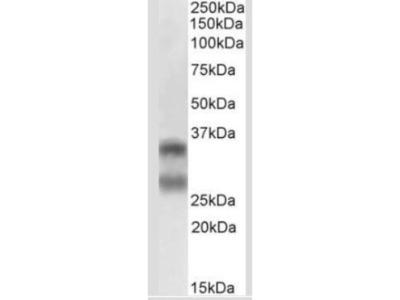 TRANCE /TNFSF11 /RANK L Antibody (12A668) - Azide Free