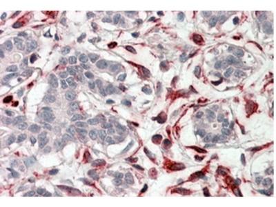 CXXC4 (C-term) goat polyclonal antibody, Aff - Purified