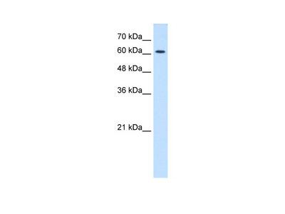 CHRNE antibody - N-terminal region (AVARP13023_T100)