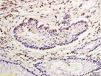 Nucleophosmin Antibody, Cy5 Conjugated