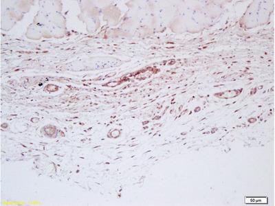 Factor 8 Antibody, ALEXA FLUOR® 350 Conjugated