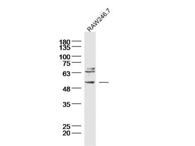 Neurokinin B receptor Antibody, ALEXA FLUOR® 350 Conjugated