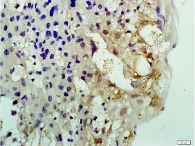 NOL1 Antibody, ALEXA FLUOR® 350 Conjugated