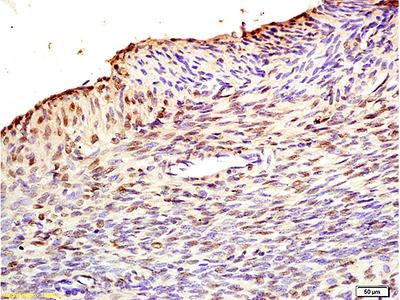 Fbx32 Antibody, ALEXA FLUOR® 350 Conjugated
