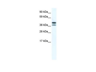TRF3 antibody - N-terminal region (ARP37625_T100)