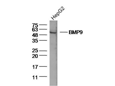 BMP9 Antibody, ALEXA FLUOR® 350 Conjugated