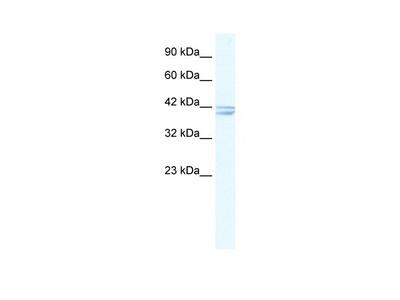 CHRNA7 antibody - N-terminal region (AVARP13018_T100)