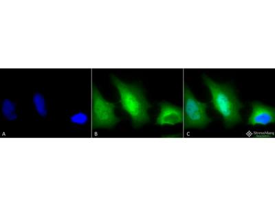 SOD (Cu/Zn) Antibody