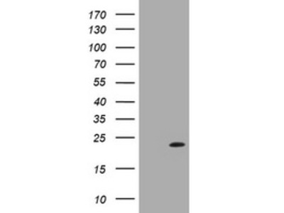 LZIC mouse monoclonal antibody, clone OTI3A12 (formerly 3A12)