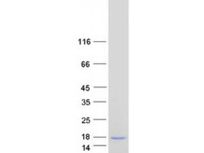 NICE2 (S100A7A) (NM_176823) Human Mass Spec Standard
