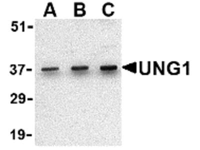 RABBIT ANTI URACIL-DNA GLYCOSYLASE 1 (C-TERMINAL)