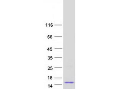 Lipophilin B (SCGB1D2) (NM_006551) Human Mass Spec Standard