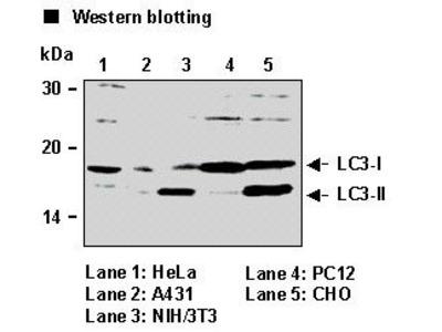 Anti-LC3 (Rat) pAb