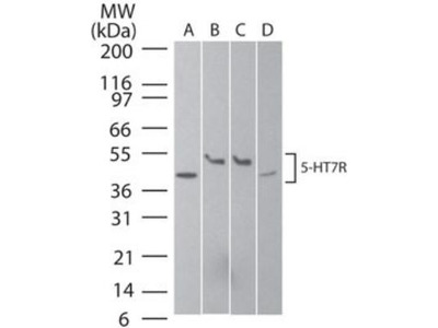 5-HT7 Antibody
