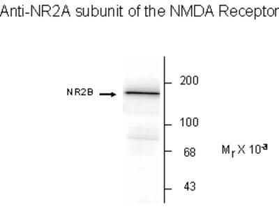 NMDA NR2A Antibody
