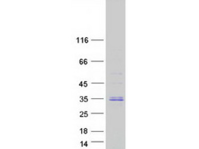 C9orf40 MS Standard C13 and N15-labeled recombinant protein (NP_060468)