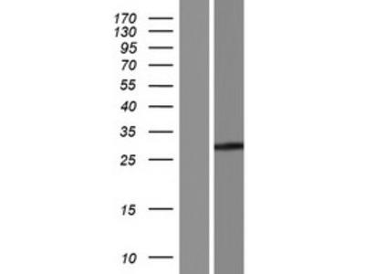 Transient overexpression lysate of Fc receptor, IgA, IgM, high affinity (FCAMR), transcript variant 2