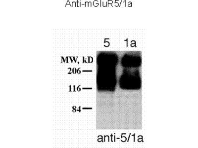 Metabotropic Glutamate Receptor 5/1a Antibody