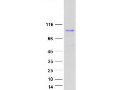 BRF1 MS Standard C13 and N15-labeled recombinant protein (NP_001510)