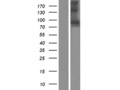 Semaphorin 3F (SEMA3F) (NM_004186) Human Over-expression Lysate