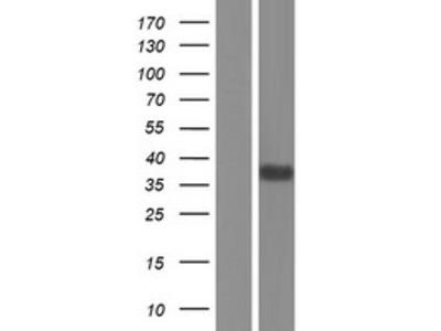 Transient overexpression lysate of milk fat globule-EGF factor 8 protein (MFGE8), transcript variant 2