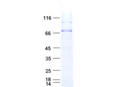 Recombinant protein of human activating transcription factor 2 (ATF2), full length, with C-terminal polyhistidine tag, expressed in sf9 cells