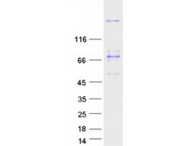 MYH3 MS Standard C13 and N15-labeled recombinant protein (NP_002461)