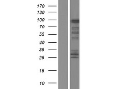 Transient overexpression lysate of family with sequence similarity 83, member G (FAM83G)