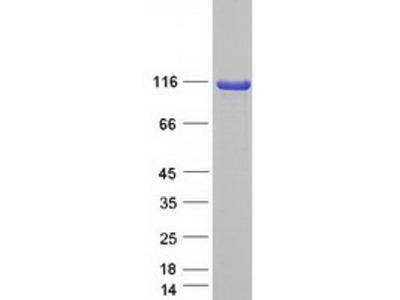 SCYL1 (NM_001048218) Human Mass Spec Standard