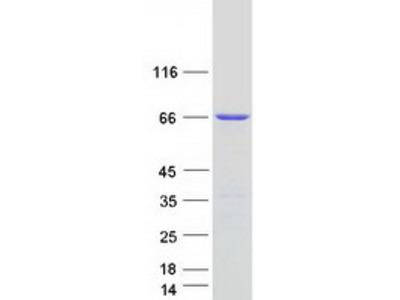 CXorf49 (NM_001145140) Human Mass Spec Standard