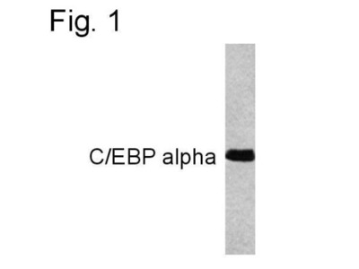Mouse Monoclonal CEBP alpha Antibody