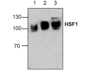 HSF1 Antibody
