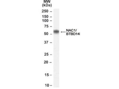 Goat Polyclonal NAC1 Antibody