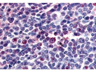 Attractin Antibody