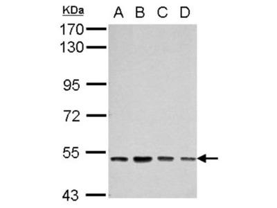 Rabbit Polyclonal SOX30 Antibody
