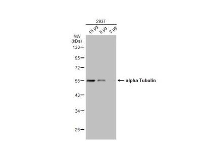 alpha Tubulin 4a Antibody