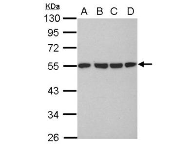 Tubulin alpha-1B Antibody