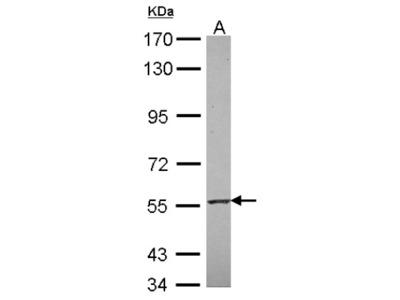RNF23 Antibody