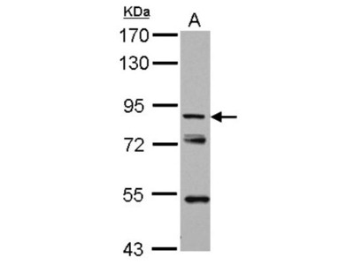 KBTBD3 Antibody