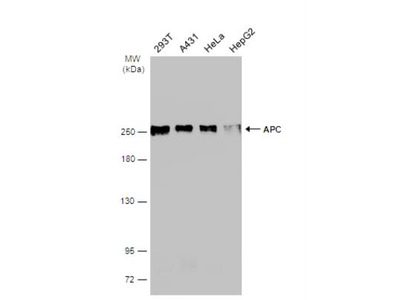 APC Antibody