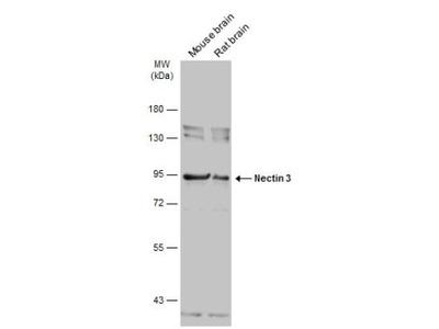 Nectin-3 /PVRL3 Antibody