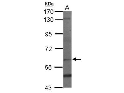 PAF1 Antibody