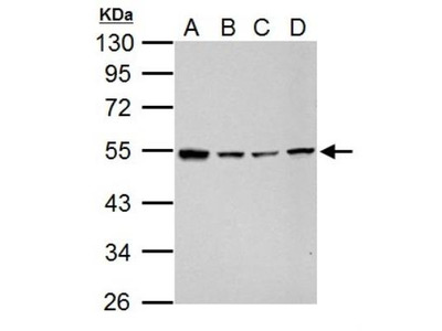 GABA-AR alpha 5 Antibody